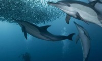 The Sardine Run - South Africa