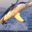 The Great White Encounter at Gansbaai